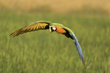 beautiful hybrid macaw flying in rice field