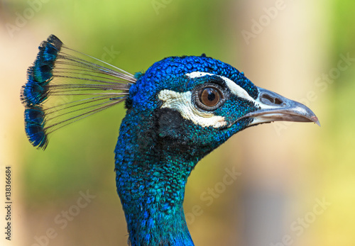 Portrait of blue peacock outdoors.