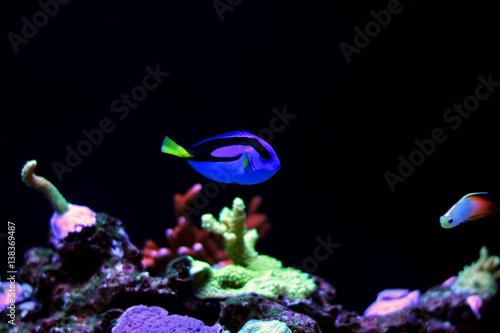 Real Dory in marine aquarium tank  (Blue Tang) Poster