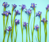 Beautiful iris flowers on a pink background, celebration, greeting card, space for text