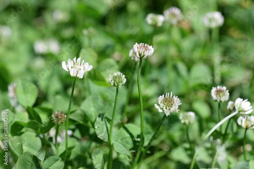 Rasen mit dem blühenden weißen Klee am sonnigen Tag. Nahansicht. Makro. Gemüse Hintergrund horizontal. Fabaceae Familie. Trifolium pratense.