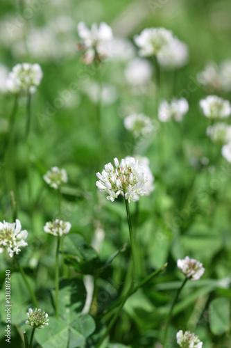 Rasen mit dem blühenden weißen Klee am sonnigen Tag. Nahansicht. Makro. Gemüse Hintergrund vertikal. Fabaceae Familie. Trifolium pratense.