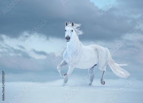 Zdjęcia na płótnie, fototapety na wymiar, obrazy na ścianę : White horse runs on snow on sky background