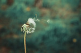 Dandelion head with seeds flying off.