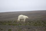 Unusual circumstances: polar bear remained in continental polar desert summer