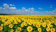 field of blooming sunflowers - 138451204