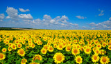 Fototapeta Kwiaty - field of blooming sunflowers © Alekss