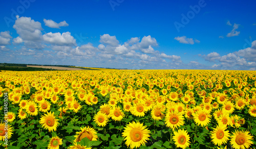Fototapeta field of blooming sunflowers