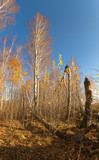 white birch grove on blue sky in early spring