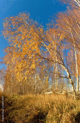 Papiers peints Bosquet de bouleaux white birch grove on blue sky in early spring