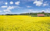 Großes blühendes Rapsfeld an einer offenen Scheune in der Nähe eines Waldrandes im Sonnenschein