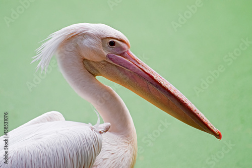 Fotobehang Portrait of pelican birds , Kolkata, West Bengal, India