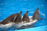 Four dolphins close up. Phuket.