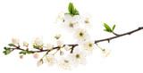 Cherry flowers on white.