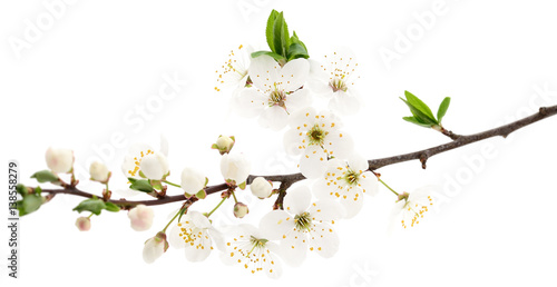 Cherry flowers on white. - 138558279