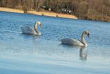 Schwanenpaar auf dem See