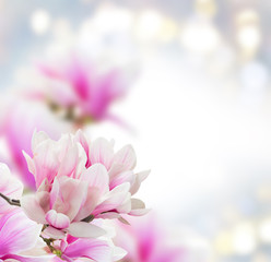 Bunch of Magnolia pink flowers over gray background with copy space