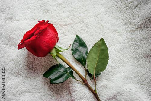 Rosa Rossa Su Sfondo Bianco Buy Photos Ap Images Detailview