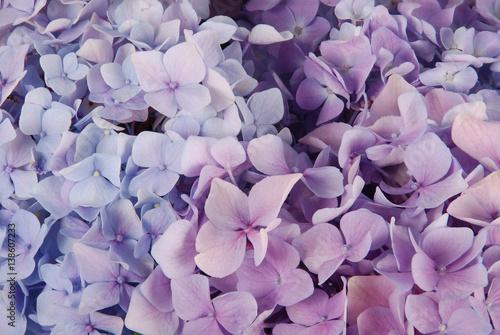 Fotobehang Hydrangea Blue and pink hydrangea macrophylla