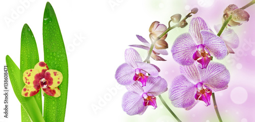 two pink orchids and empty space for text