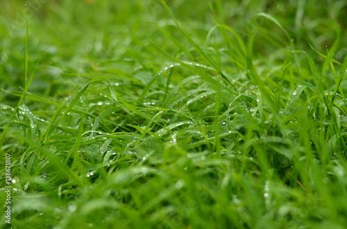 Frisches grünes Gras mit Regentropfen Nahaufnahme