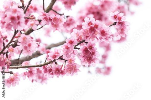 Foto op Plexiglas Magnolia Cherry Blossom or sakura flower on white background