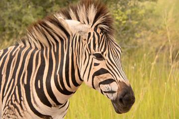 Lone Burchell's zebra in profile