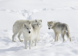 Arctic wolves in the winter snow
