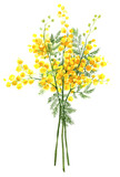 Spring yellow mimosa flower (acacia dealbata, silver wattle). Hand-drawn isolated illustration on white background. - 138779250
