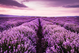 Fototapety Blooming lavender field under the purple colors of the summer sunset
