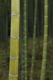 Green bamboo forest in Arashiyama, Kyoto, Japan