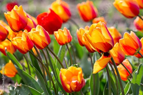 blooming tulips in yellow and orange in garden
