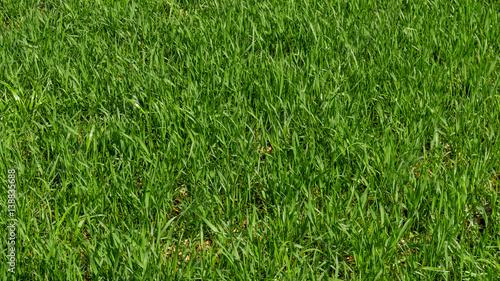 Hintergrund eines grünen Grases. Textur des grünen Grases