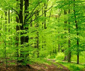 Waldweg durch Buchenwald im zeitigen Frühjahr, frisches Grün
