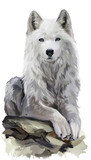 White wolf watercolor painting