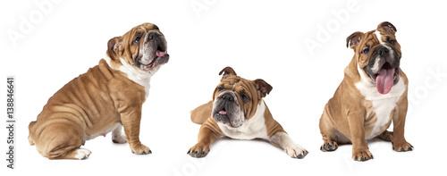 English Bulldog over white