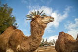 Camel Palmtree