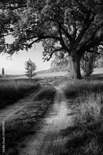 Fototapeta Landscape showing giant oak beside country road on sunny summer day.