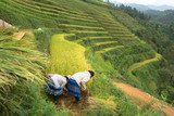 Rice fields on terraced of Mu Cang Chai, Yen Bai, Vietnam. Farmers harvesting on field