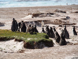 Group of king penguins waddling over land towards water