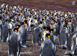 Crowded colony of king penguins shuffling over land