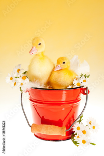 Twin easter ducklings in a bucket Poster