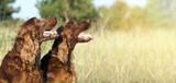 Website banner of funny happy Irish Setter dogs - 138992661