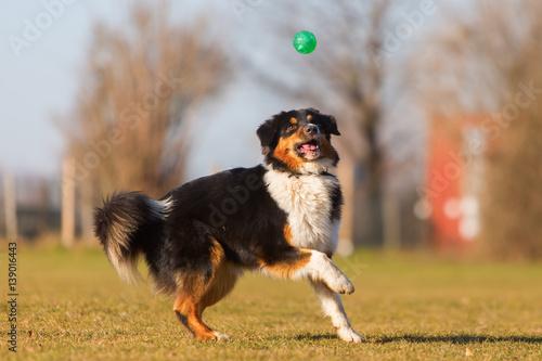 Australian Shepherd runs for a ball