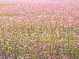 cosmos flower field on mountain