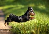 Funny dachshund dog jumping running on grass