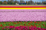 Spring tulip fields in Holland, colorful flowers in Netherlands