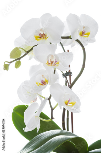Fototapeta White orchid flower with leaves