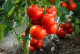 Ripe tomatoes in garden ready to harvest - 139075240