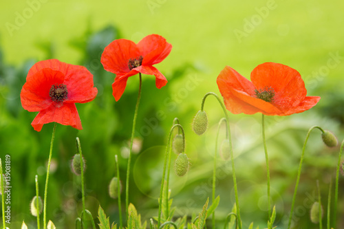 three-red-poppies-in-bright-evening-light